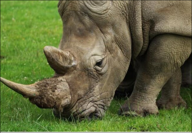 Quelles propriétés aurait la corne de rhinocéros ?