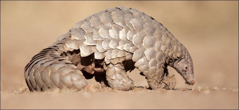 Le virus viendrait d'un pangolin ou d'une chauve-souris sorti d'un laboratoire utilisant des animaux comme cobayes.