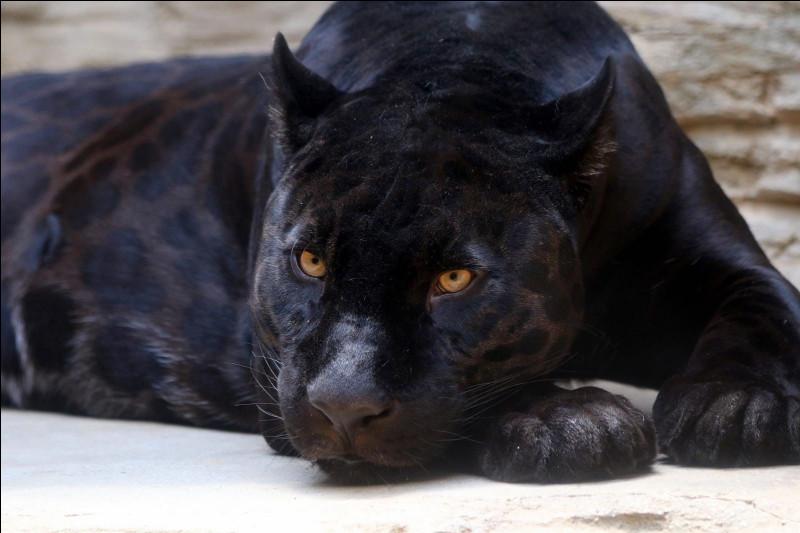 Est-ce que la panthère noire est noire ?