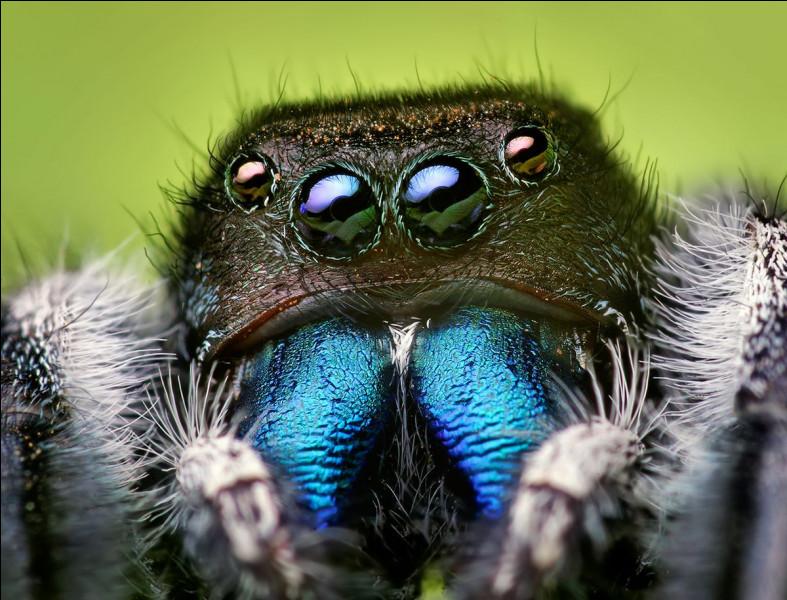 Quel est le surnom de l'araignée Salticidae ?