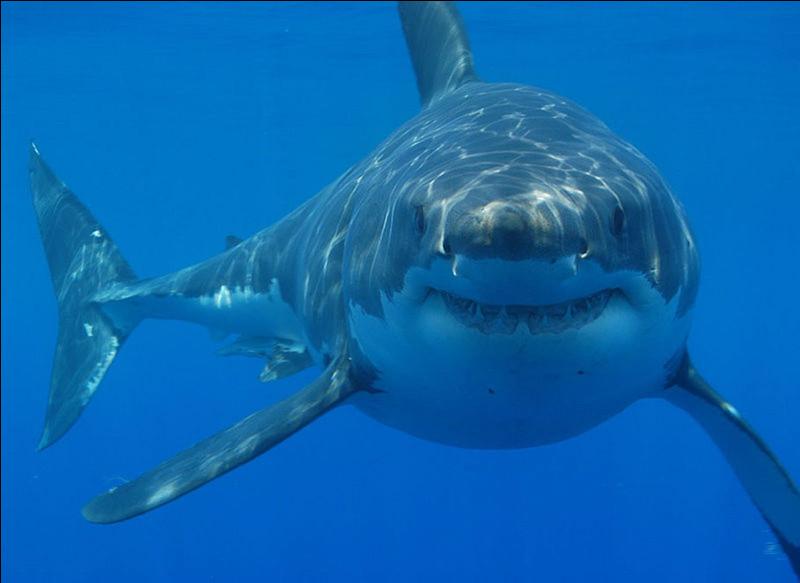 Quel est le classement des requins les plus agressifs (chasseurs) ?