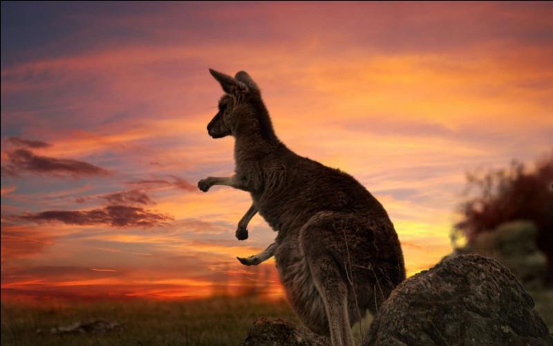 Quelle est la taille du kangourou géant ?