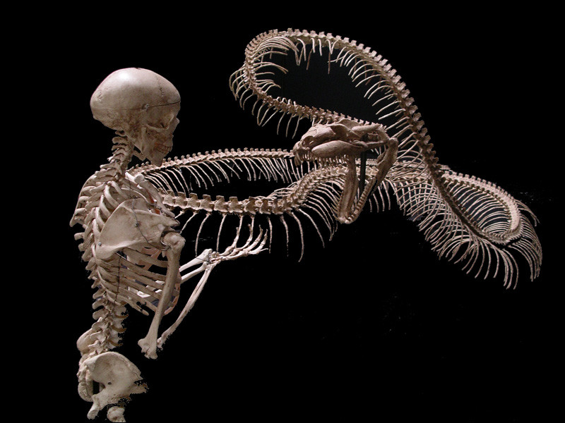 Il dépasse l'espèce qui était alors considérée comme le plus grand serpent du monde. Comment s'appelait ce cousin ?