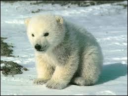 On estime que l'espèce pourrait disparaître d'ici un siècle à cause de la réduction de la superficie et de la qualité de son habitat.
