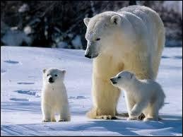 Quel est le nom latin de l'ours blanc ?
