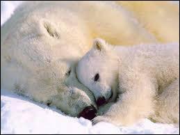 L'ours blanc est :