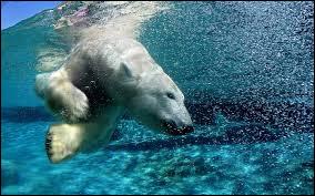 Les ours blancs sont de bons nageurs.