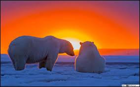 La fourrure de l'ours blanc est si isolante qu'il lui arrive de souffrir de la chaleur, c'est pour cela qu'il se prélasse dans la neige pour se refroidir.