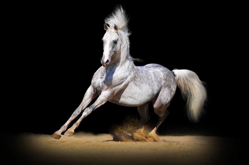 Comment s'appelle un cheval castré ?