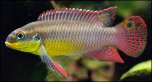 Quel est le nom commun du Pelvicachromis taeniatus ?