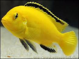 Quel est le nom commun du Labidochromis caerulus ?