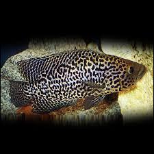Quel est le nom commun du Cichlasoma managuense ?