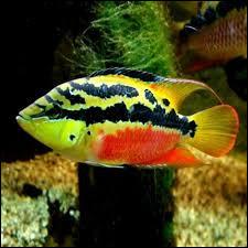 Quel est le nom commun du Cichlasoma salvinii ?