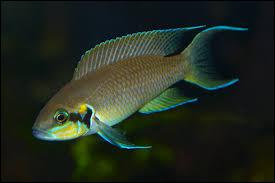 Quel est le nom commun du Lamprologus bricardi ?
