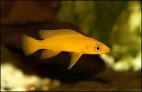 Quel est le nom scientifique du cichlidé citron ?