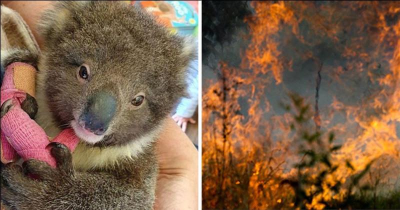Quelles sont les espèces qui sont en danger à cause des feux en Australie ?