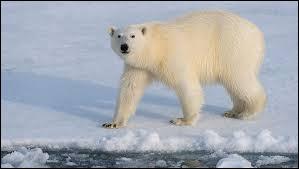 Les ours polaires sont-ils en danger ?