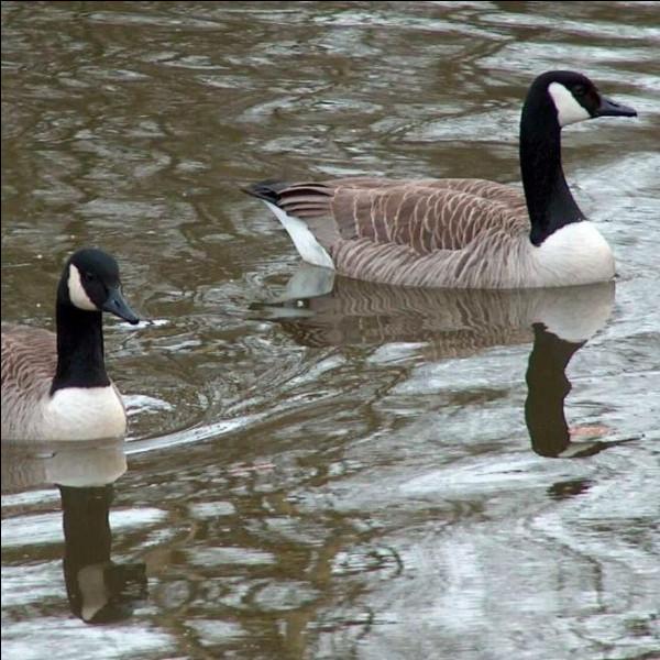 Que fait un grand nombre d'espèces d'oiseaux, comme les oies, juste avant qu'il ne commence à faire froid ?