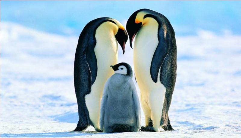 """Tu peux le voir dans le film """"Happy Feet"""", et si tu ne trouves pas la bonne réponse, le manchot ce sera toi !"""