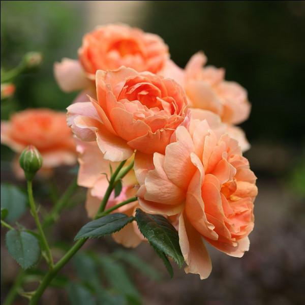 """Qui chantait """"L'Important, c'est la rose"""" ?"""