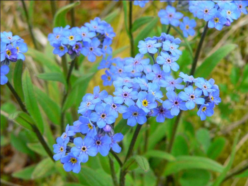 """Quelle fleur tire son nom d'un mot qui signifie """"oreille de souris"""" ?"""