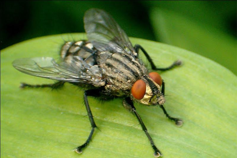 De quel ordre la mouche fait-elle partie ?
