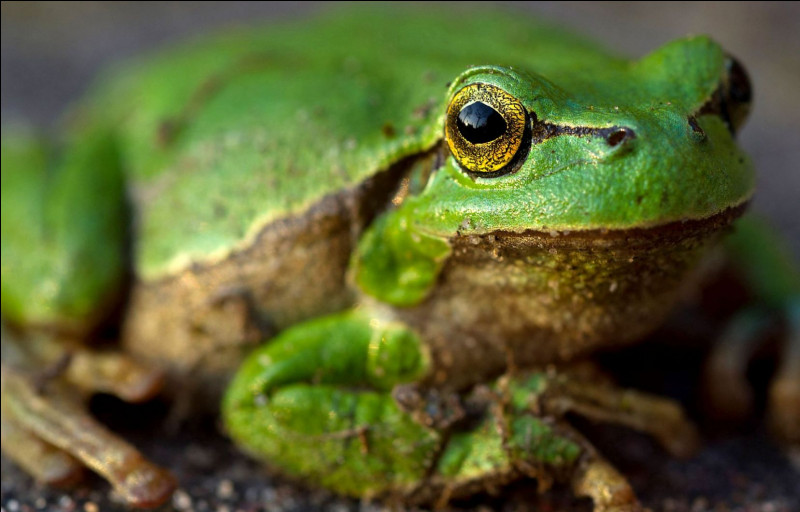 Maintenant, parlons des amphibiens. Quelle est la famille des grenouilles ?