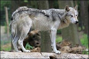À quelle famille appartient le loup ?
