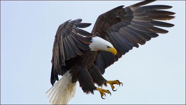 Quelle famille comporte l'aigle ?