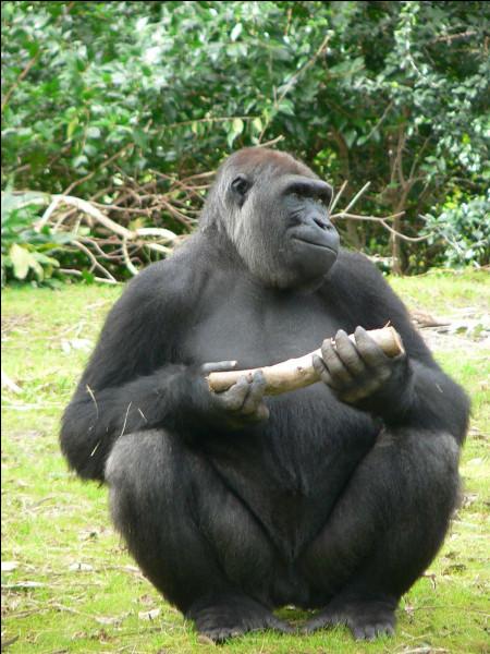 Dans quelle famille est le gorille ?