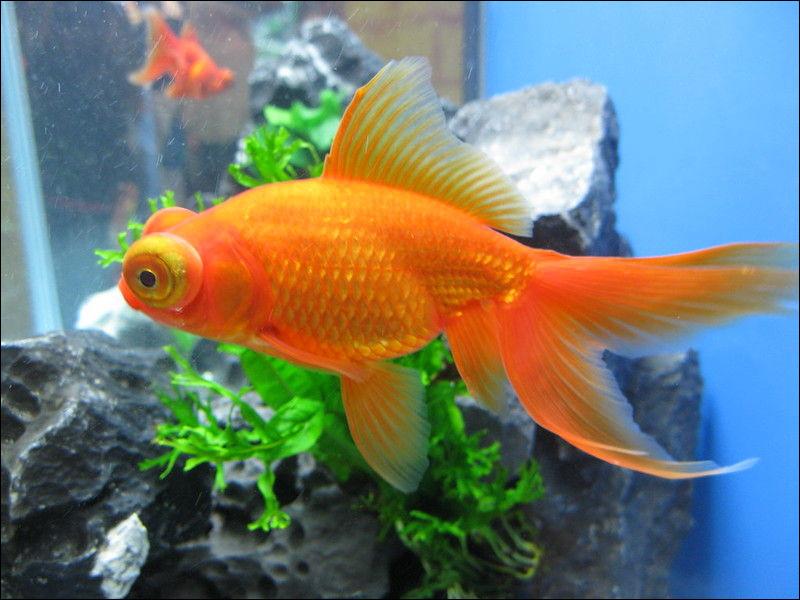 Dites-moi dans quelle famille est le poisson rouge.