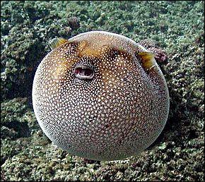 Le poisson globe, vous connaissez ? Il fait partie de quelle famille ?