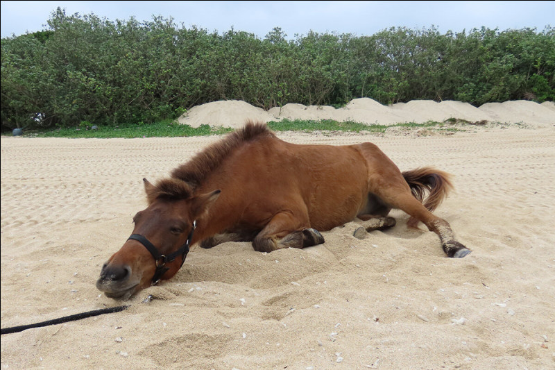 Ce cheval, pas très grand, c'est le...