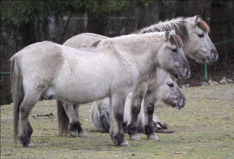 Il ressemble au tarpan, mais c'est un cheval à part entière...