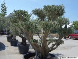 Je mets mon olivier dans un bac suffisamment grand pour que les racines puissent se développer avec aisance. Je place mon arbre fruitier dans un endroit :