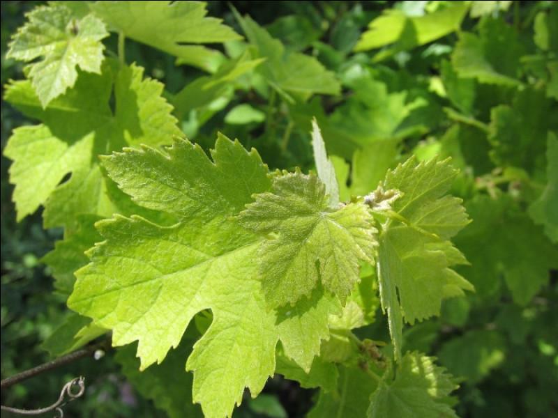 Que sont ces feuilles parfois nommées dolmas ?