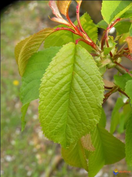 Reconnaissez-vous cet arbre à feuilles elliptiques d'environ 12 cm de long ?