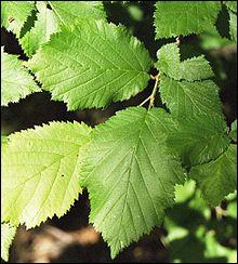 Sur quel arbre dont une espèce est appelée aussi avelinier, poussent ces feuilles ?