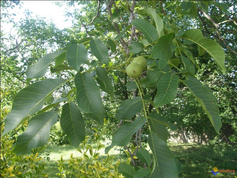 À quel arbre appartiennent celles-là, connues en phytothérapie pour leurs propriétés astringeantes ?