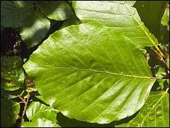 Verte et luisante, à quel arbre appartient cette feuille ?