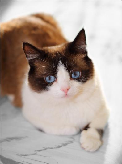 Pouvez-vous retrouver la race de ce chat ?