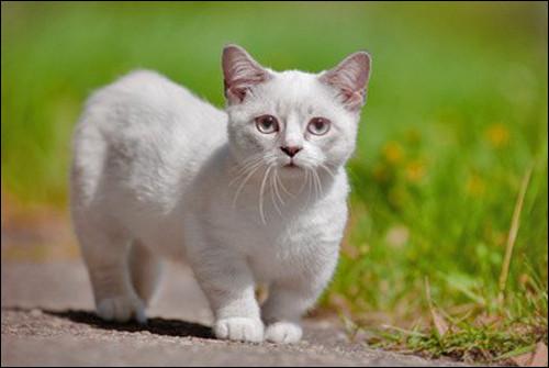 Cette race un peu particulière garde la taille d'un chaton toute sa vie ! Comment s'appelle-t-elle ?