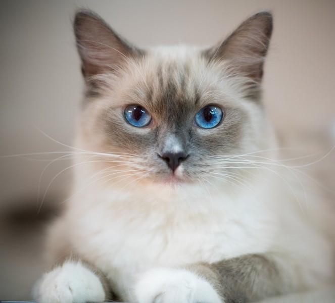 Des races de chats peu connues