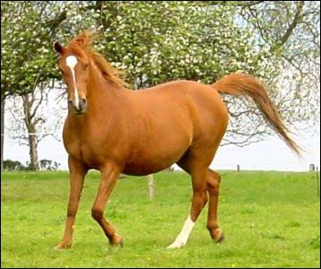 Nommez les parties blanches de ce cheval :
