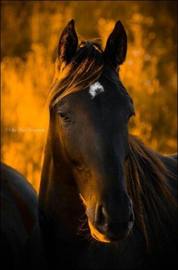 La marque blanche de ce cheval se nomme :