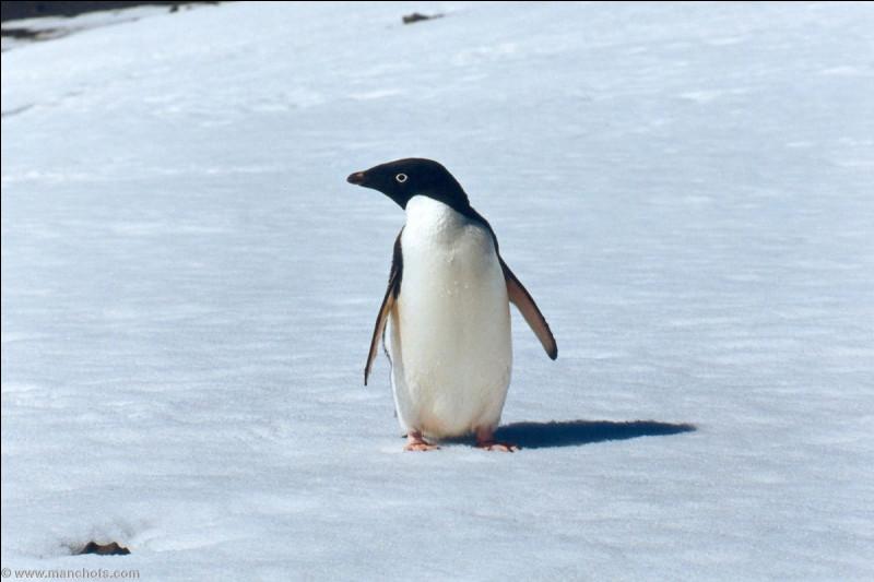 Cet oiseau vit en Antarctique. Quel est son nom ?