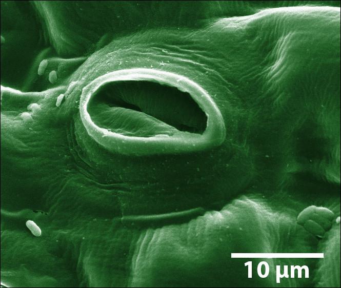 """Complétez : Savez-vous ce qu'est [...] stomate ? C'est un trou microscopique sur la face inférieure de la tige ou de la feuille d'une plante qui permet à celle-ci de """"respirer"""". On peut en trouver jusqu'à 500/mm²."""
