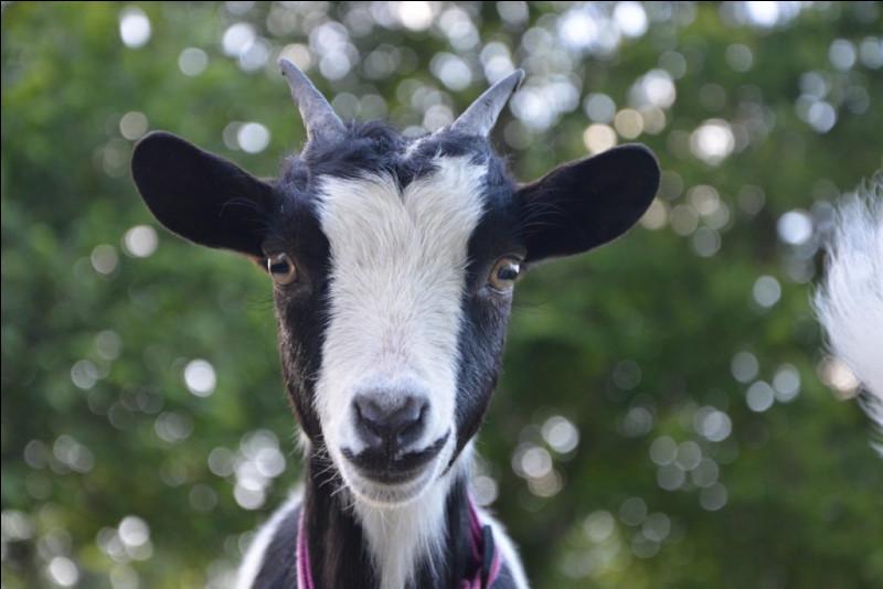 À la ferme du village, une chèvre attend son ……