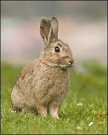 Madame lapin a mis au monde 10 ……