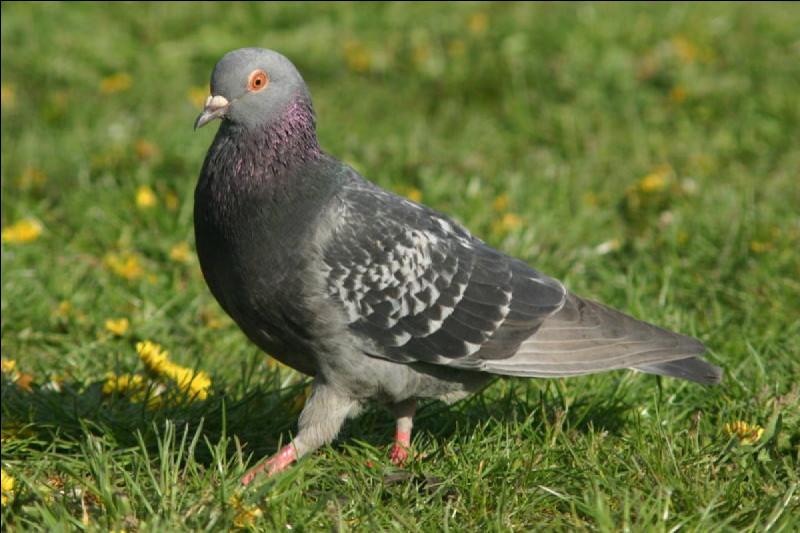 Madame pigeon est heureuse de vous annoncer l'éclosion de ses oeufs, ce sont des ……qui naîtront